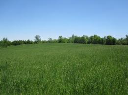 Field #4 before harvesting in early June
