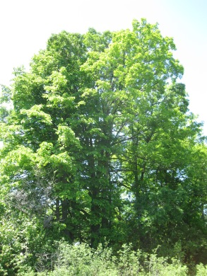 Old growth trees basking in the summer sun