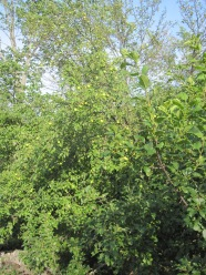 Crab apple trees recently discovered