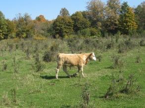 A healthy calf