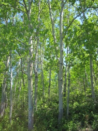 Grouping of birch trees