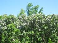 A massive lilac bush