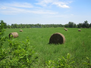 Hay bales drying in the summer sun