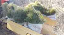 White pine saplings