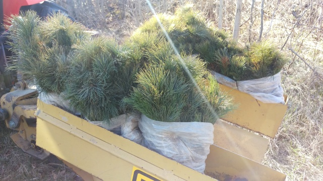 We also planted some white pine to protect the walnuts along the perimetre of the orchard