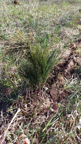 White pine sapling
