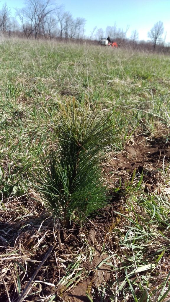Similarly, this was our very first white pine sapling planted to protect the orchard from traditional strong north westerly winds.