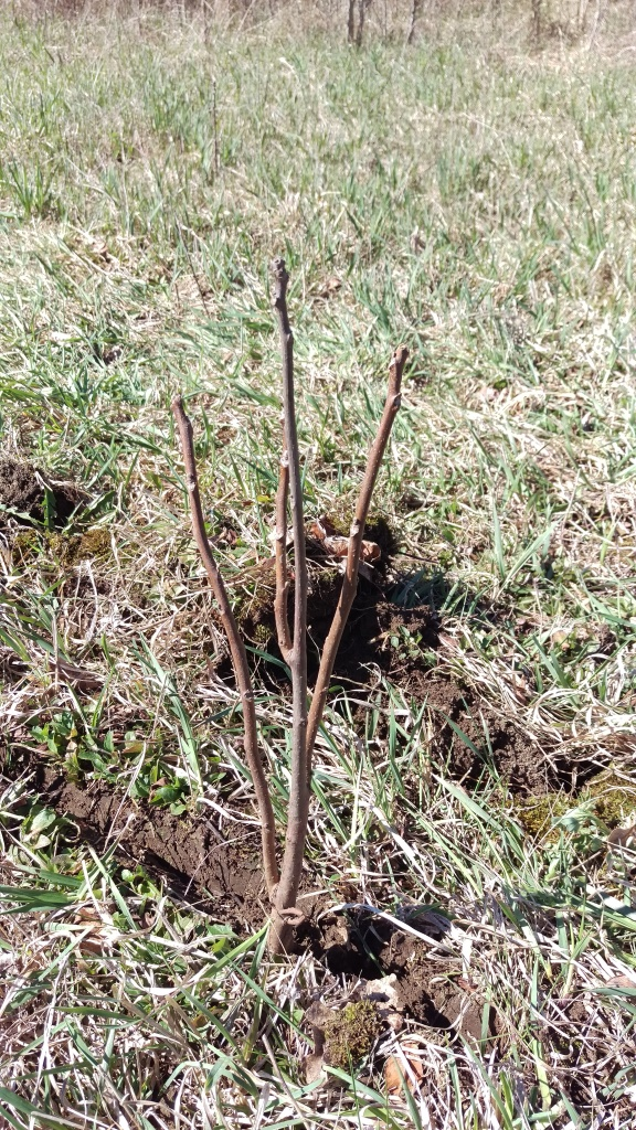 This was our very first black walnut tree planted. We are so proud to bring these native species back to the area.