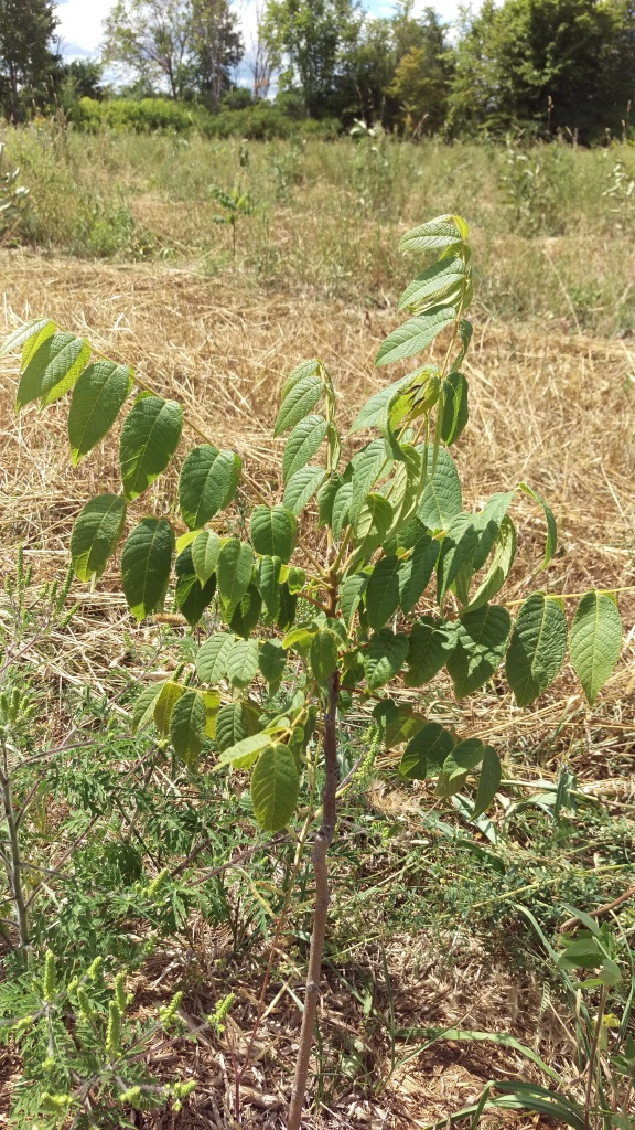 The walnut trees are still doing well amid one of the driest summers on record.