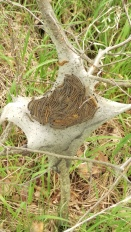 An eastern tent caterpillar colony will require that we use a chemical compound to keep insects away from our apple orchard.
