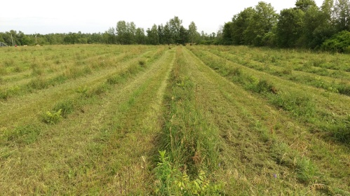 Trimmed orchard rows