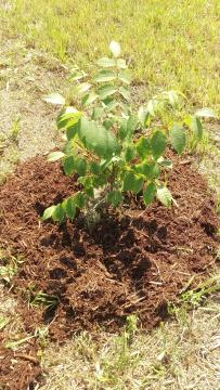 Walnut tree with first round of mulch