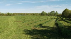Walnut orchard in June