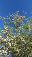 Apple trees at the farm
