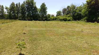Cut and trimmed walnut orchard rows