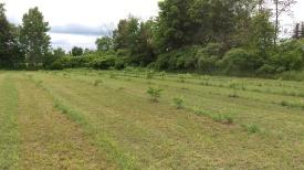 Walnut trees in late June