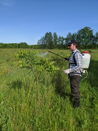 Applying organic spray to our black walnut trees