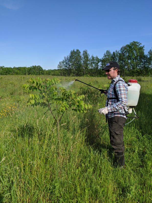 Applying organic spray to our black walnut trees
